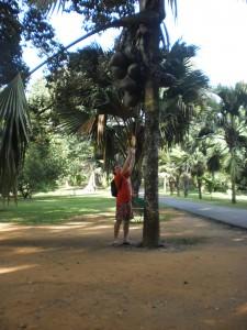 огромные кокосы 25 кг каждый
