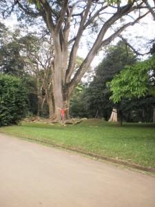 дерево великан