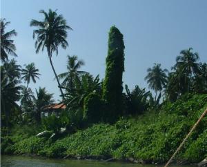 куст фалос на Шри Ланка