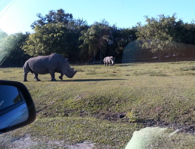 дикие носороги