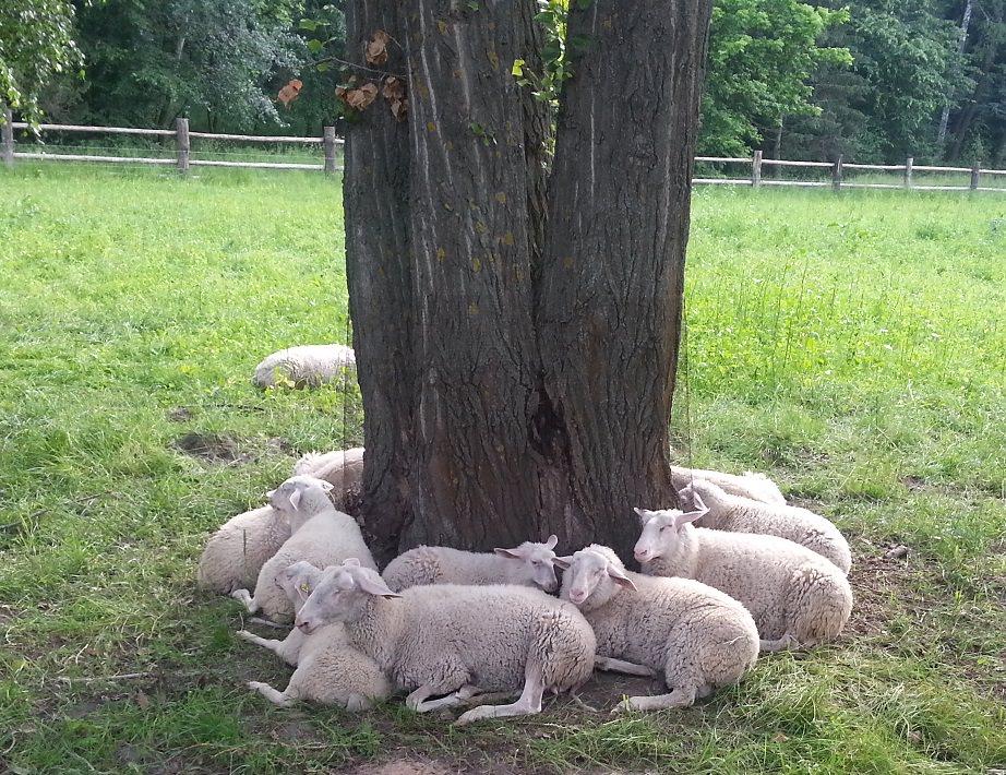 овцы в Межгирье